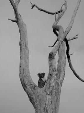 Koala I © Yopich