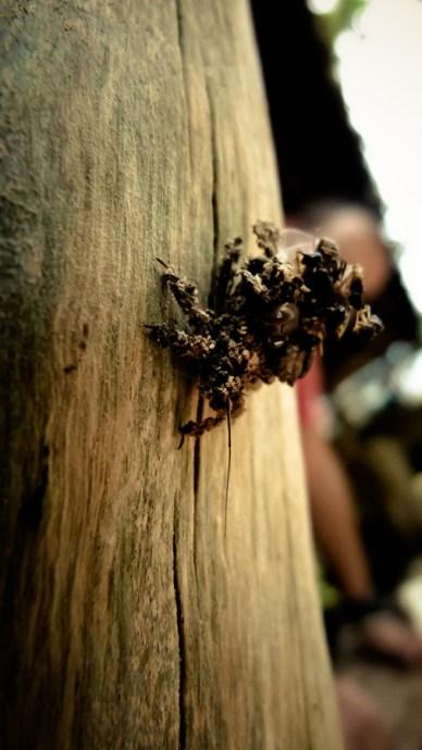 Insecte écorce