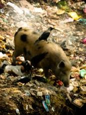 Mais aussi des porcs et des merles/Corbeaux © Topich