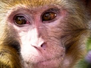 Faciès de macaque. © Topich