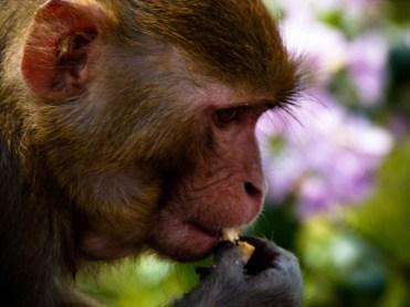 Délicatesse de macaque. © Topich