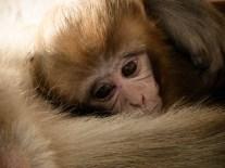Miskina de (baby) macaque. © Topich