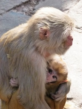 Popples macaque. © Topich