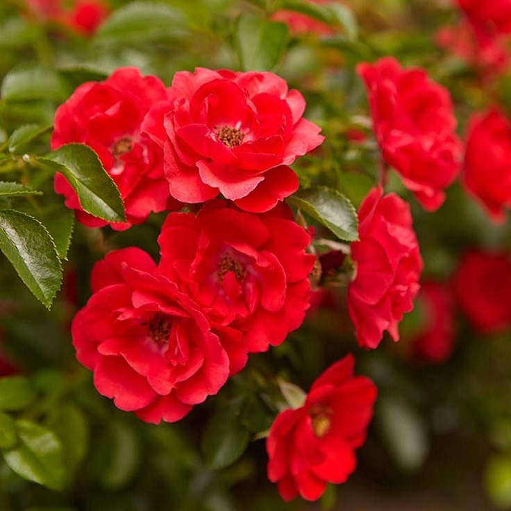 Flower-Carpet-Scarlet
