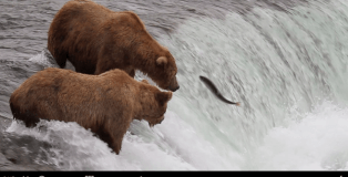 katmai national park bear webcam