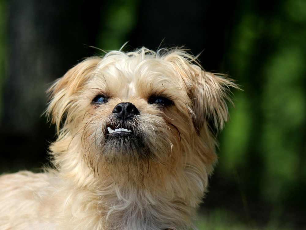 Brussels Griffon Terrier Temperment