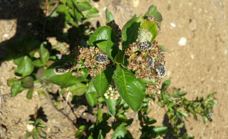 Tropinata hirta zararı (bakla zınnı)