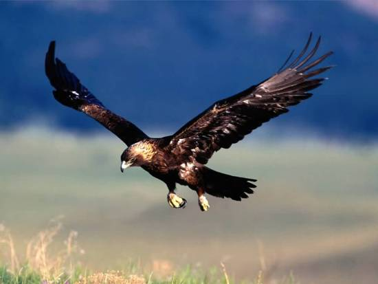 golden-eagle-flying