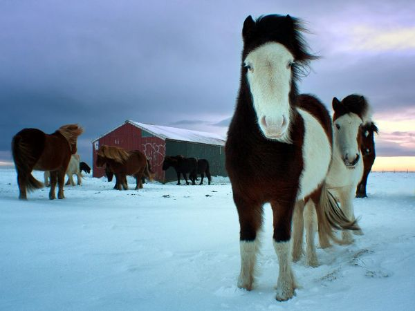 Southern Iceland Horses