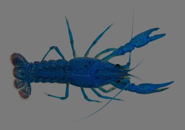 lobster-oceans