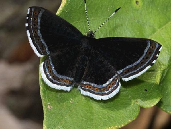 Cleonus Metalmark (Detritivora cleonus)