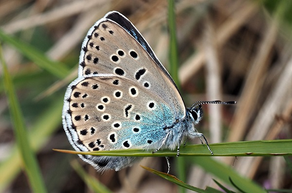 Large Blue Butterfly (Phengaris arion)