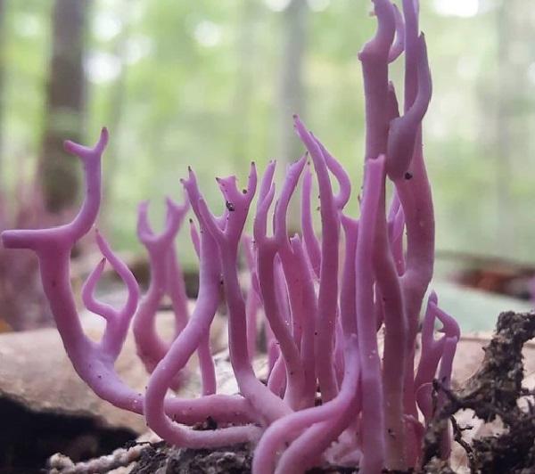 Violet Coral (Clavaria zollingeri)