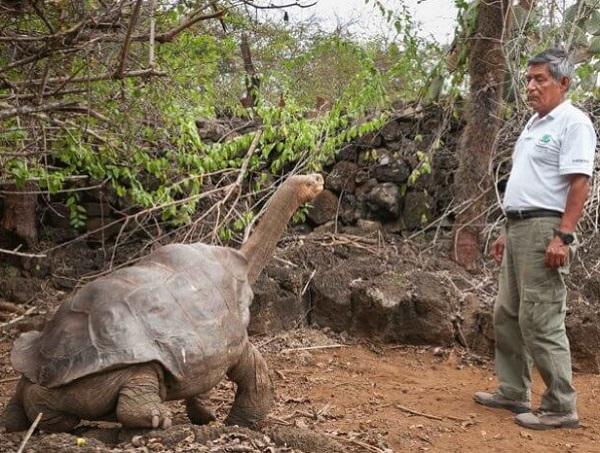 Pinta Island Tortoise (Chelonoidis abingdonii)