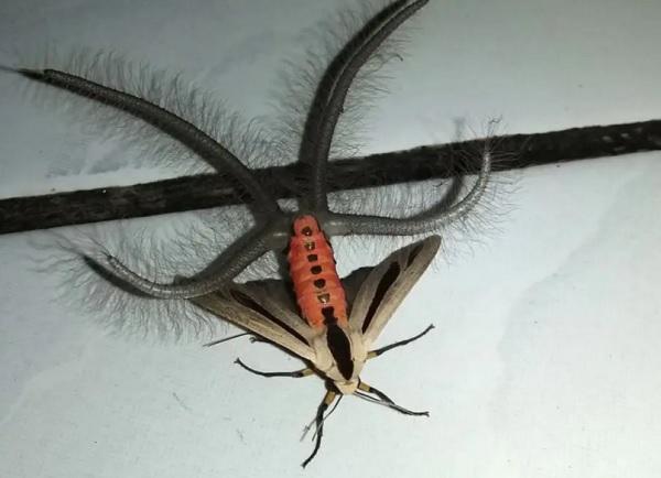 Arctiine Moth (Creatonotos gangis)