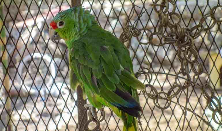 Green parakeet at Jungla de Panama