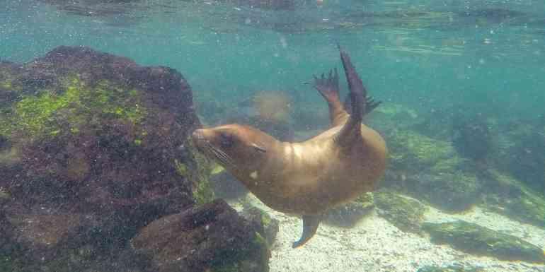 Sea lion underwater, La Loberia, San Cristobal, Galapagos