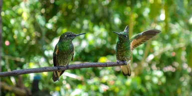 Two hummingbirds at the Casa de los Colibris, Cocora Valley, Colombia