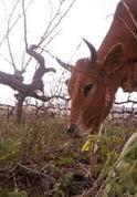 Reyneke, Cow (cropped)