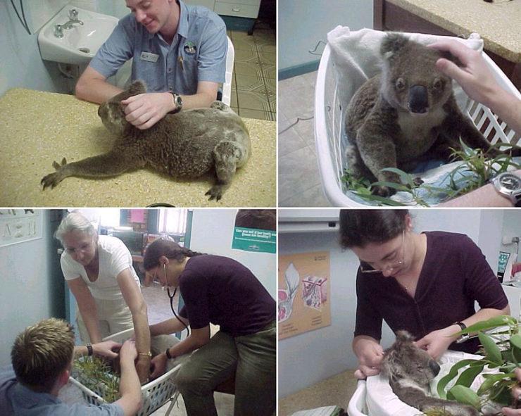 dyer_koalas1