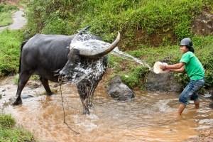 Toraja Buffalo