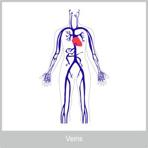 The Veins