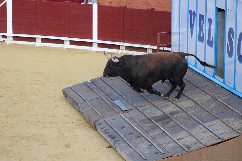 """El Toro de la Vega 2017, """"Príncipe"""", es recibido con expectación por los tordesillanos"""