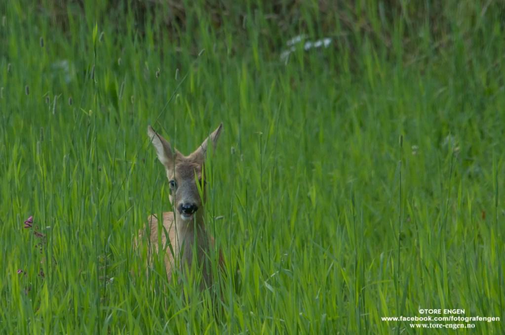 Bilde av et rådyr i høyt gress.