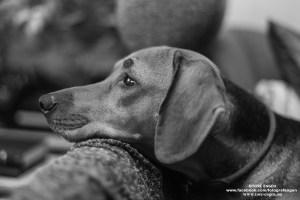 Hundeportrett av en tankefull Schillerstøver