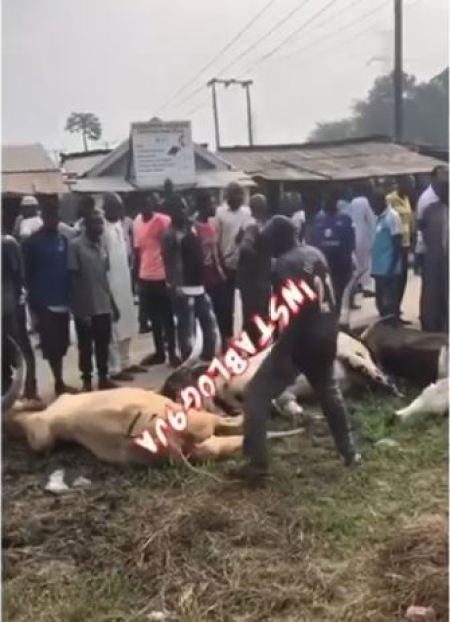 cows electrocuted