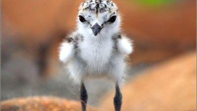 ちゃんとカメラ目線なチドリの赤ちゃん
