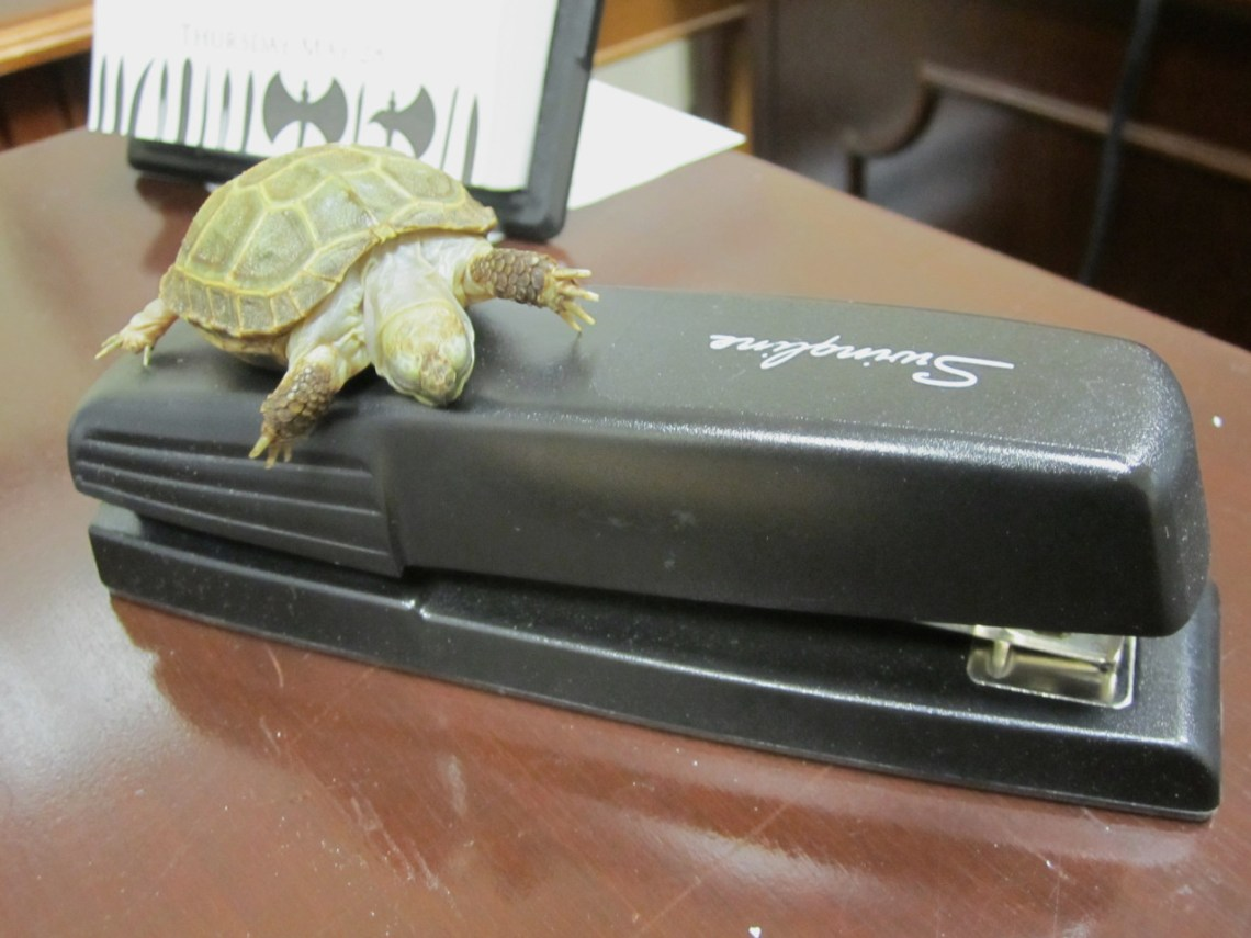 I like this stapler so much that I am going to take a nap on it!