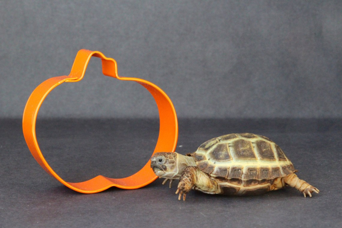 This cookie cutter passes the nose bop test and the orange-as-a-pumpkin test!