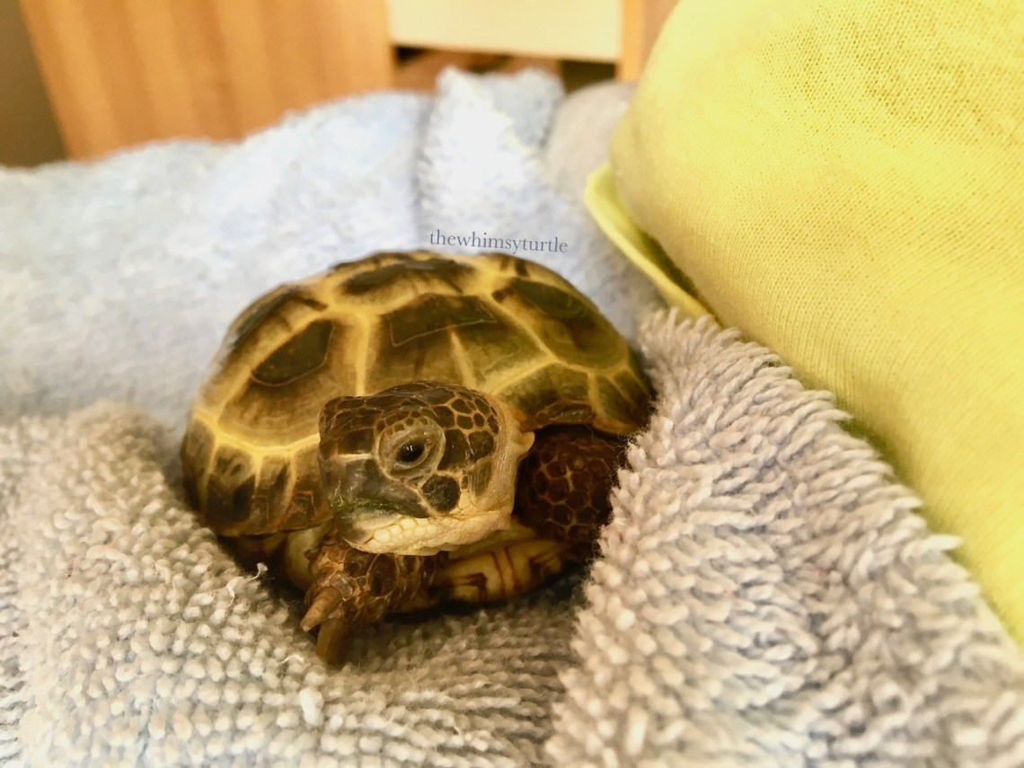 I am the best lap tortoise ever!