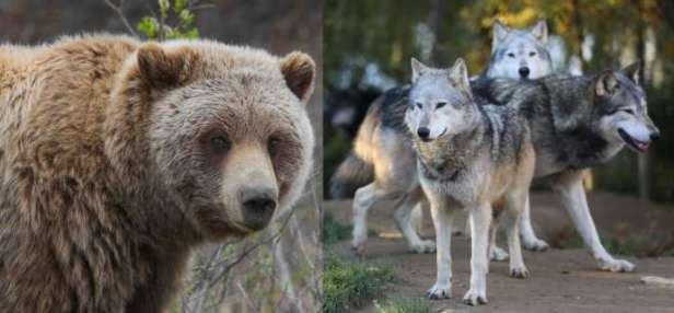 Law on Emergency Culling of Bears, Wolves Repealed after Targets Reached