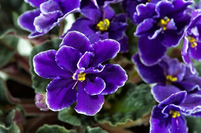 Resultado de imagem para Violeta  flor