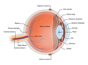 Diagram of the eye showing the different parts of the eye