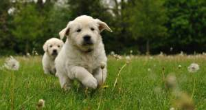 Best age to get a golden retriever puppy - 2 puppies running toward a camera on grass