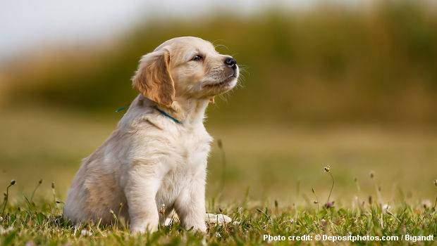 A golden retriever puppy sitting peacefully on grass