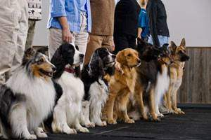 An obedience training class with various dog breeds in process