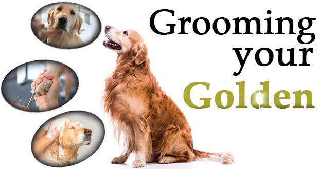 Grooming your golden written beside a GR looking at 3 portraits of goldens being groomed