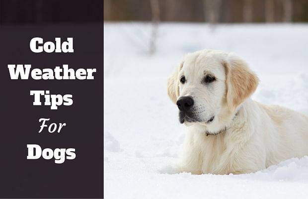 Cold weather tips for dogs written beside golden retriever lying in snow