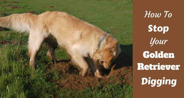 How to stop your golden retriever digging written beside a golden digging a lawn