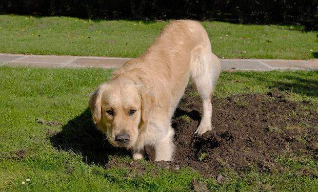 Golden Retriever dog digging hole in grass lawn, but looking at the camera