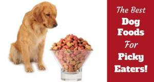 The best dog foods for picky eaters written next to a golden not eating some kibble