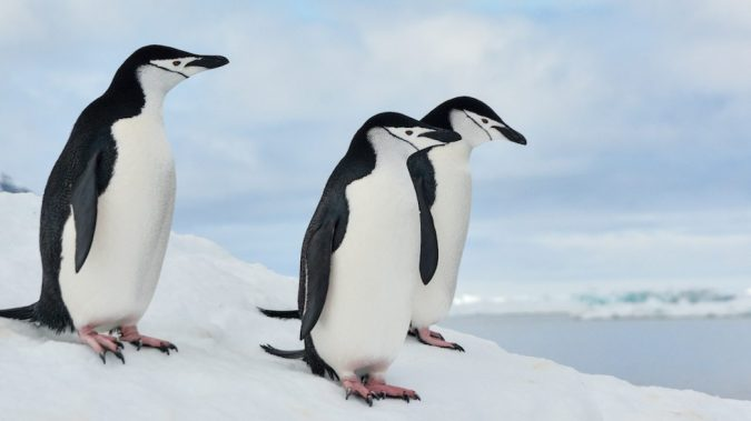 75% of Antarctic chinstrap penguin colonies have disappeared over the past  50 years thanks to global warming   Totally Vegan Buzz