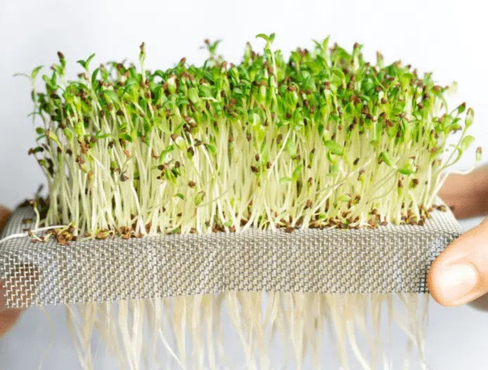 Microgreens held for a close-up shot