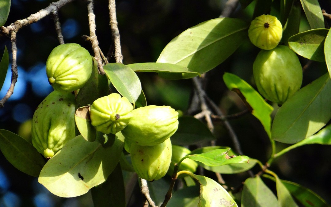 Garcinia Cambogia Fruit: Hydroxycitric Acid Fat Burning Supplement