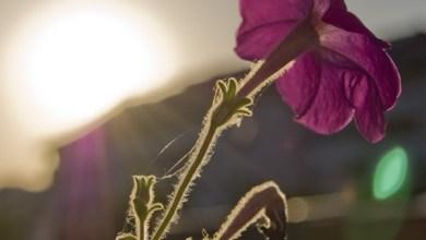 Photo of Florile au nevoie de răcoarea nopţii