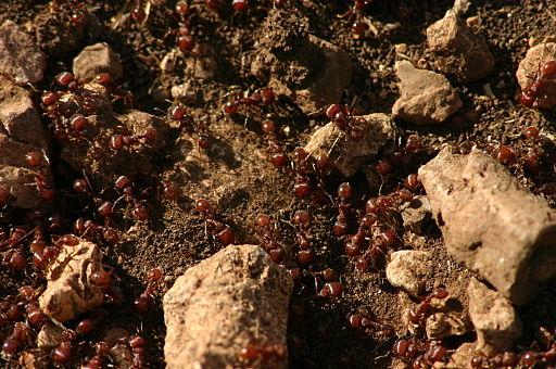 fire ants taiwan